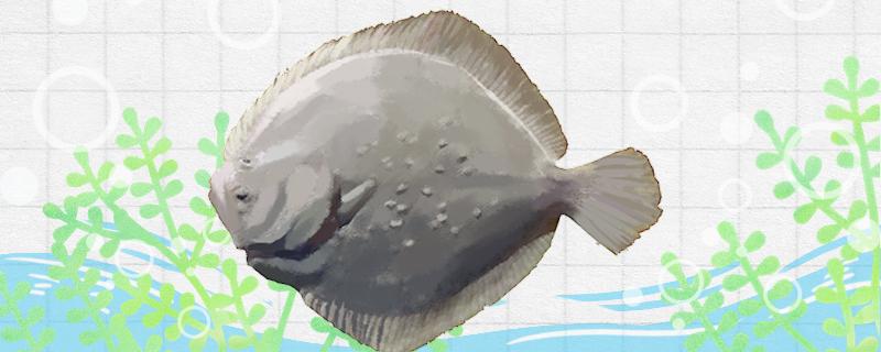 多宝鱼有毒吗,能养殖吗
