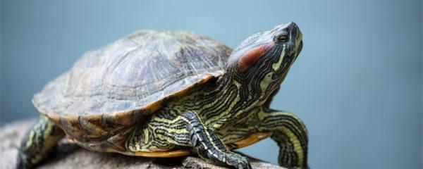 七彩乌龟能活多久,七彩乌龟怎么养