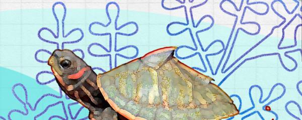乌龟冬眠怎么养,冬眠前要做什么