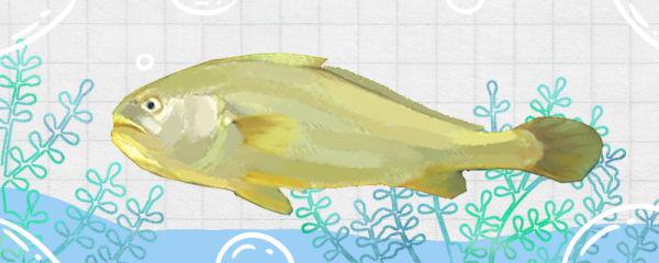 大黄花鱼是淡水鱼还是海水鱼,生活在哪里