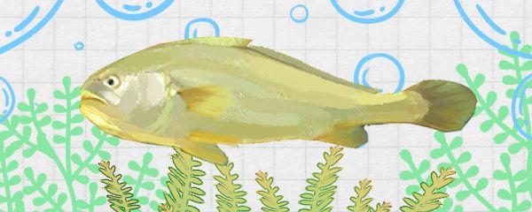 大黄花鱼是海鱼吗,属于深海鱼吗