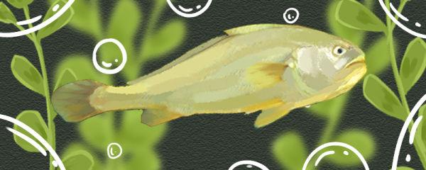 大黄鱼和黄花鱼一样吗,有什么区别
