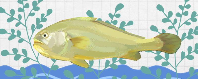 黄花鱼刺多吗,跟鲈鱼比哪个刺多