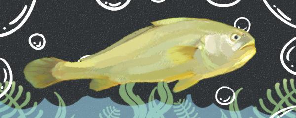 黄花鱼和大黄鱼一样吗,有什么区别