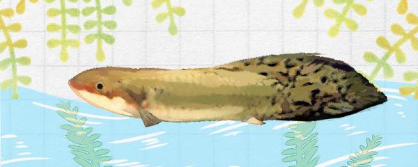 澳洲肺鱼好养吗,怎么养