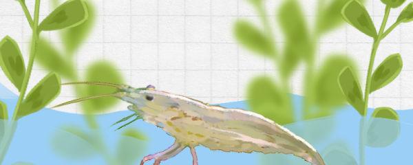 观赏虾吃鱼屎吗,怎么给观赏虾喂食