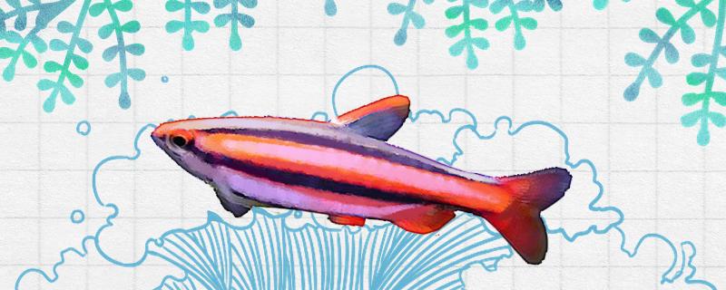 火焰铅笔鱼好养吗,怎么养