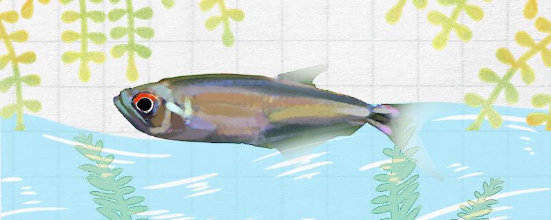龙头灯鱼好养吗,怎么养