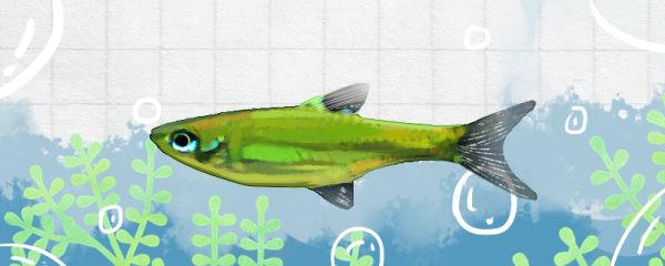 青眼灯鱼好养吗,怎么养