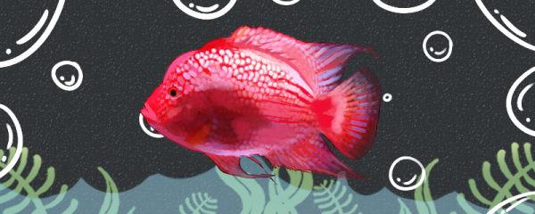 白色德萨斯罗汉鱼好养吗,怎么养