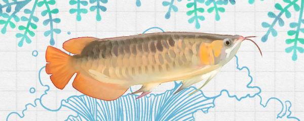 橙红龙鱼好养吗,怎么养
