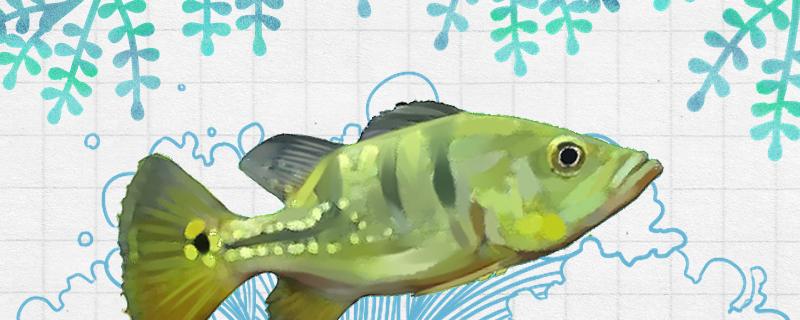 皇冠三间鱼好养吗,怎么养