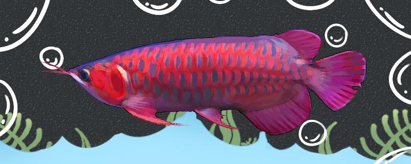 蓝底红龙鱼好养吗,怎么养