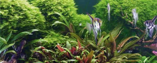 鱼缸里可以放绿萝吗,鱼缸里可以养哪些植物