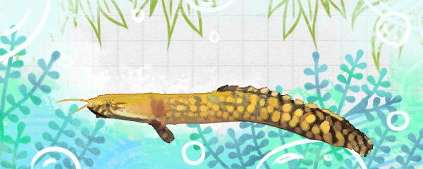 大花恐龙鱼好养吗,怎么养