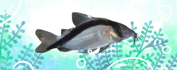 弓箭鼠鱼好养吗,怎么养