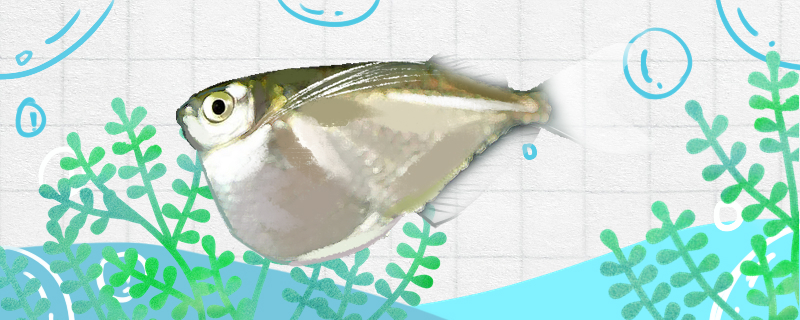 大银斧燕子鱼好养吗,怎么养