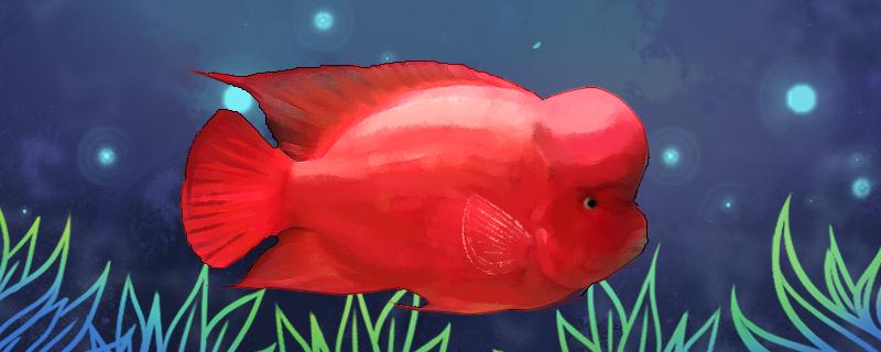 红马罗汉鱼好养吗,怎么养