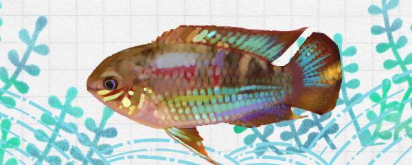 红鳃皇冠鱼好养吗,怎么养