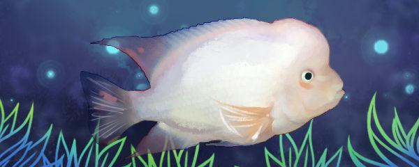 雪山罗汉鱼好养吗,怎么养