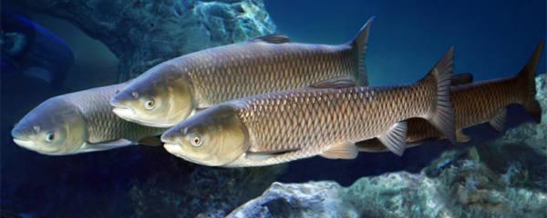 鱼吃草吗,什么鱼吃草