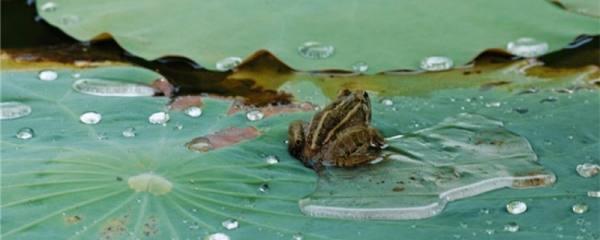 青蛙会游泳吗,靠什么游泳