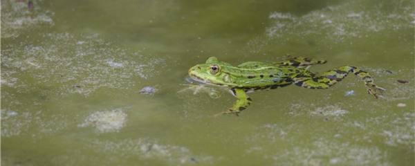 青蛙是两栖动物吗,能一直待在岸上吗