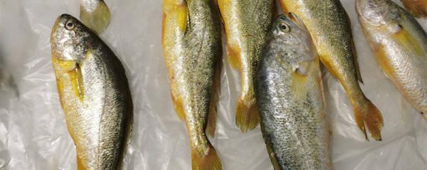 黄花鱼多少钱一斤,黄花鱼怎么看真假