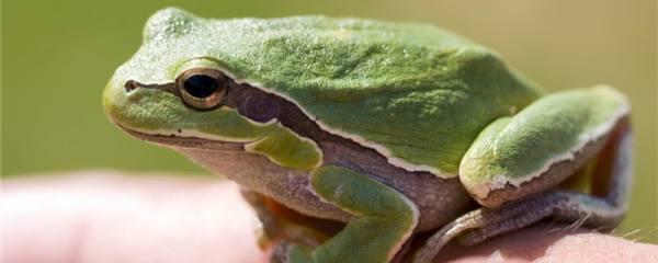 青蛙需要冬眠吗,不冬眠会怎么样