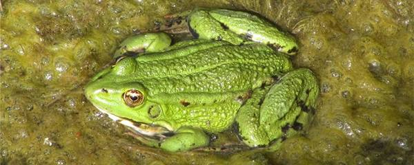 青蛙什么时候产卵,多久产一次卵