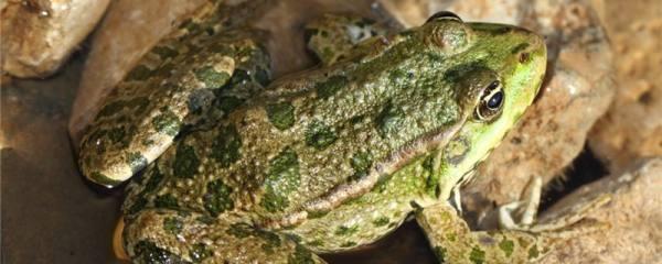 青蛙会呱呱叫吗,为什么会呱呱的叫