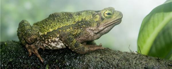青蛙能捕虫吗,为什么能成为捕虫高手
