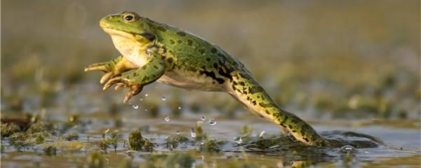 青蛙能吃害虫吗,一天能吃多少只害虫