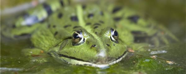 青蛙一直在水里能呼吸吗,会死吗
