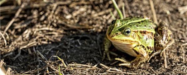 青蛙怎么养殖,喂什么食物