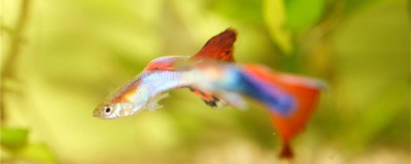 孔雀鱼拉白便是什么原因,是得肠炎了吗
