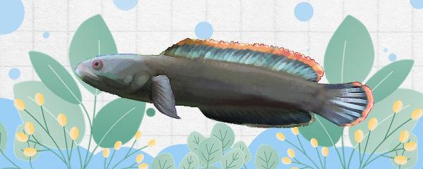 彩虹雷龙鱼好养吗,怎么养