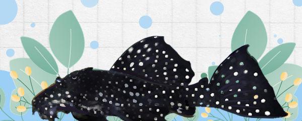 黑白双星坦克异型鱼好养吗,怎么养
