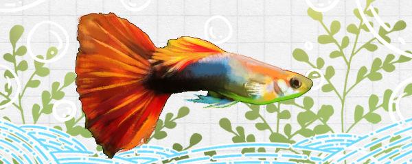 红尾礼服孔雀鱼好养吗,怎么养