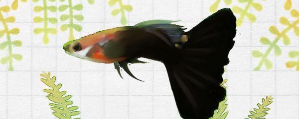 黑尾礼服孔雀鱼好养吗,怎么养