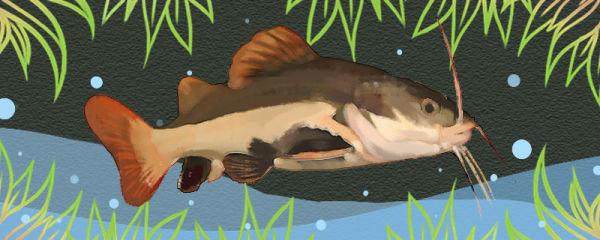 红尾鸭嘴鱼好养吗,怎么养