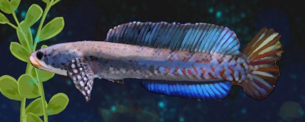 幻彩红宝石雷龙鱼好养吗,怎么养
