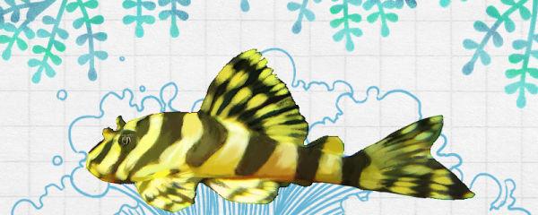 黄金斑马异形鱼好养吗,怎么养