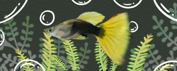 黄尾礼服孔雀鱼好养吗,怎么养