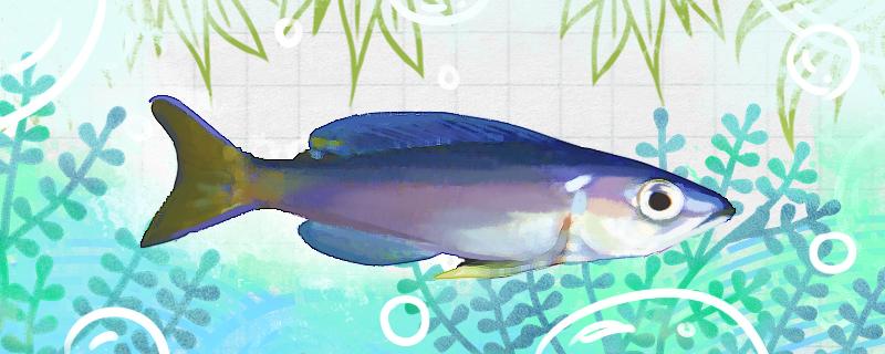 蓝剑沙鱼好养吗,怎么养