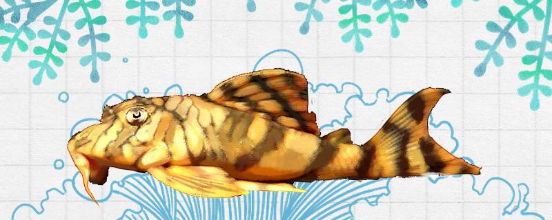 陶瓷娃娃异型鱼好养吗,怎么养