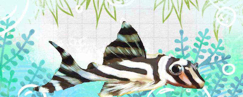 熊猫异形鱼好养吗,怎么养