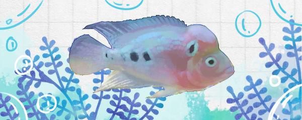 白眼珍珠罗汉鱼好养吗,怎么养