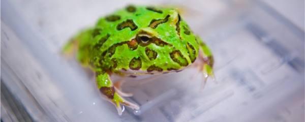 宠物青蛙怎么养,多久换一次水