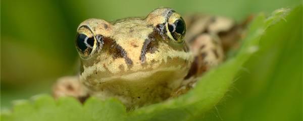青蛙除了吃虫子还吃什么,能吃蛇吗